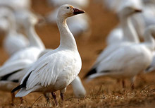Още две деца заразени с птичи грип в Египет