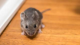 Мишка, паднала от тавана в Белия дом, предизвика хаос на пресконференция