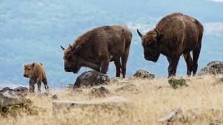 От 5 години зубри живеят в Източните Родопи