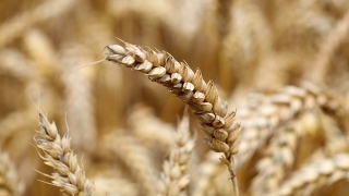 Румъния вече е третият най-голям производител на житни култури в ЕС