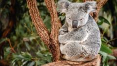 Застрашени ли са от изчезване коалите