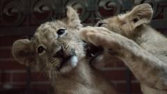 БАБХ бави заминаването на лъвчетата Терез и Масуд