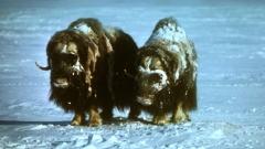 Откриха древно селище в Гренландия