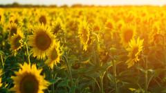 Срив в цените на слънчогледа удари доходите на българските фермери