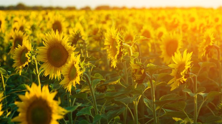Очаква се по-слаба реколта от слънчоглед в България и Румъния