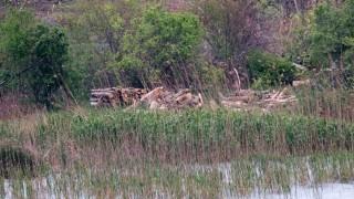 Варварски унищожиха гнездова колония от корморани на Дуранкулашкото езеро