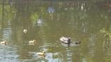 Шест зеленоглави патета се излюпиха в Борисовата градина