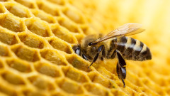Защо пчелите са покрити с милиони косъмчета