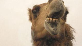 """Проведе се конкурс """"Мис камила"""""""