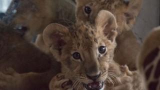 """""""Четири лапи"""" с петиция в защита на лъвчетата Терез и Масуд"""