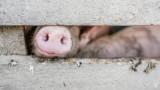 Чумата не поразява само свинете