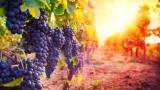 Невиждано високите температури в Европа карат винарите да скъсат с традициите