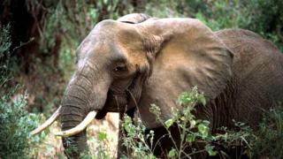 Слонове изпращат предупредителни sms-и