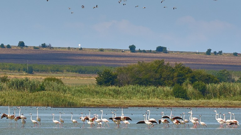 Изобилие на розово фламинго в Атанасовско езеро