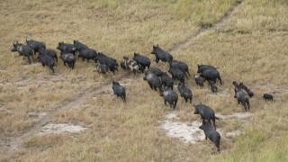 Ловци протестират срещу забраната за групов лов на диви свине