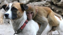 Назначиха куче бодигард на маймунка в китайска зоологическа градина