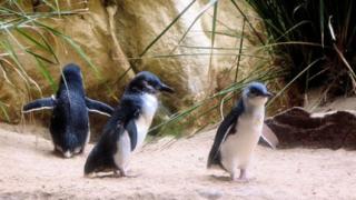 Снайперисти охраняват пингвини в Австралия