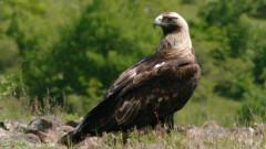 Царски орел открит с 16 сачми в тялото