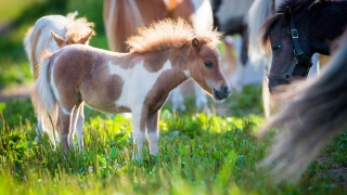 Малък кон вместо куче-водач