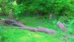 Напрежение в Пловдив заради изсичане на здрави дървета