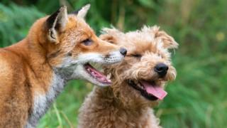 Могат ли лисица и куче да бъдат най-добри приятели