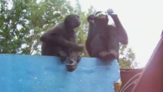Маймуни тероризират родните сървайвъри