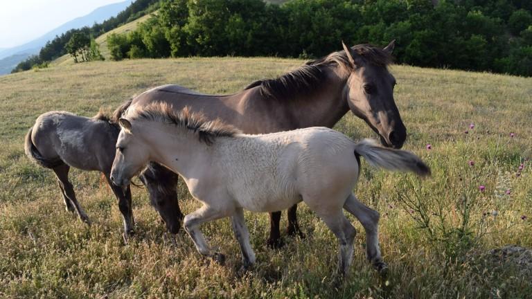 С 16 млади кончета се увеличиха стадата на свободно живеещите