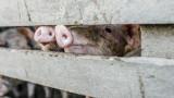 Чумата по свинете - като бомба със закъснител