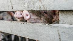 Продължава евтанизирането на животни от свинефермата в Русенско