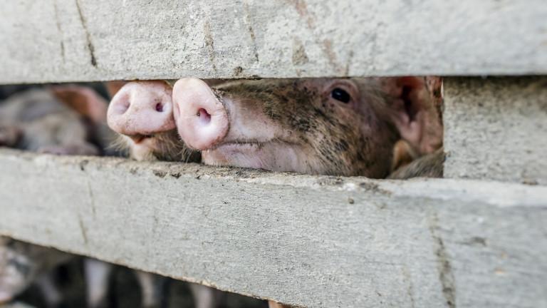 Съмнения за чума по свинете и в Белене
