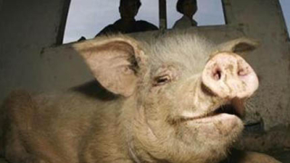 Египетски фермери се бият с полицаи в защита на свинете си
