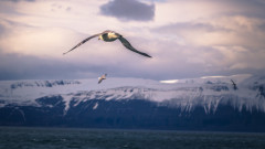 """Арктика вече """"не е безопасен пристан"""" за гнездене на птици"""