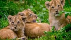 Вижте новородените лъвове-тризнаци