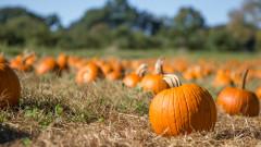 Ще останат ли американците без тикви за Хелоуин