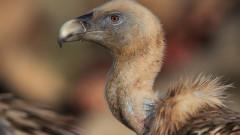 73 белоглави лешоядчета са се излючили в Източните Родопи