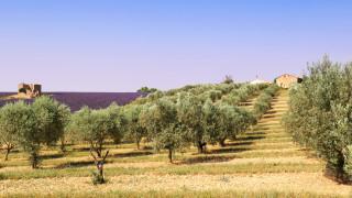 Смъртоносна болест мори маслиновите дървета в Европа