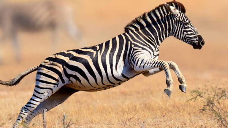 Защо зебрите има райета е един от онези въпроси, които