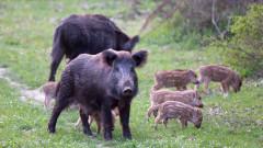 Търсят се начини за опазване на Източнобалканската свиня