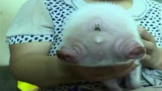В Китай се роди прасенце с две лица
