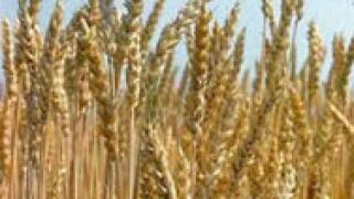 Двойно по-ниски добиви от пшеницата в Добрич