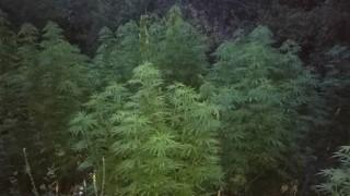 Полицаите откриха още една плантация с канабис в Пернишко