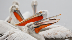 """Хищник напада гнездата на пеликаните в """"Сребърна"""""""