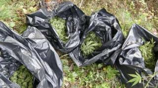 Още 450 кг. канабис иззеха в Петричко