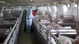 Над 70 000 прасета са умъртвени в Русенско заради чумата