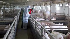 Умъртвяват прасетата от свинефермата в Русенско