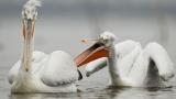 Вече имаме втора колония пеликани