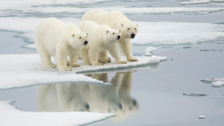 Ще изчезнат ли полярните мечки