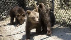 Намерените три мечета в Родопите се връщат в дивата природа