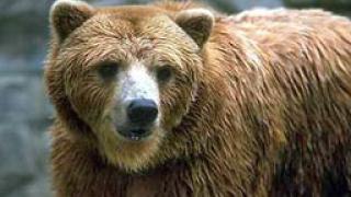 Издирват бракониери, убили мечка около Сандански