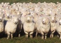 Бременни шуменски овце пътуват нелегално в Турция